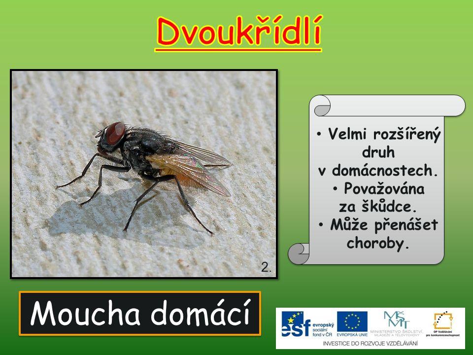Dvoukřídlí Moucha domácí Velmi rozšířený druh v domácnostech.