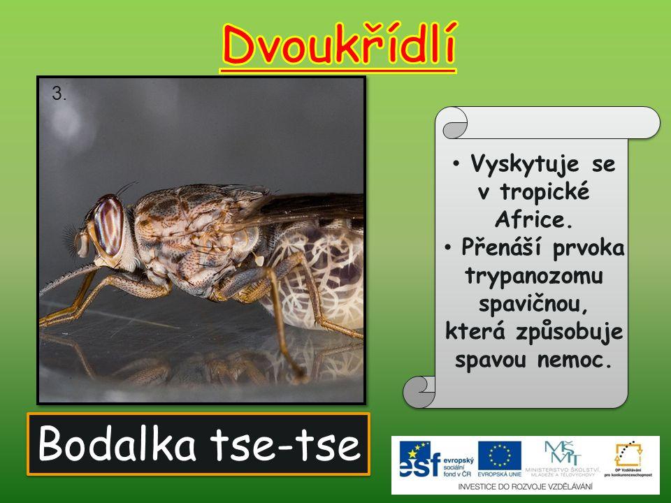 Dvoukřídlí Bodalka tse-tse Vyskytuje se v tropické Africe.