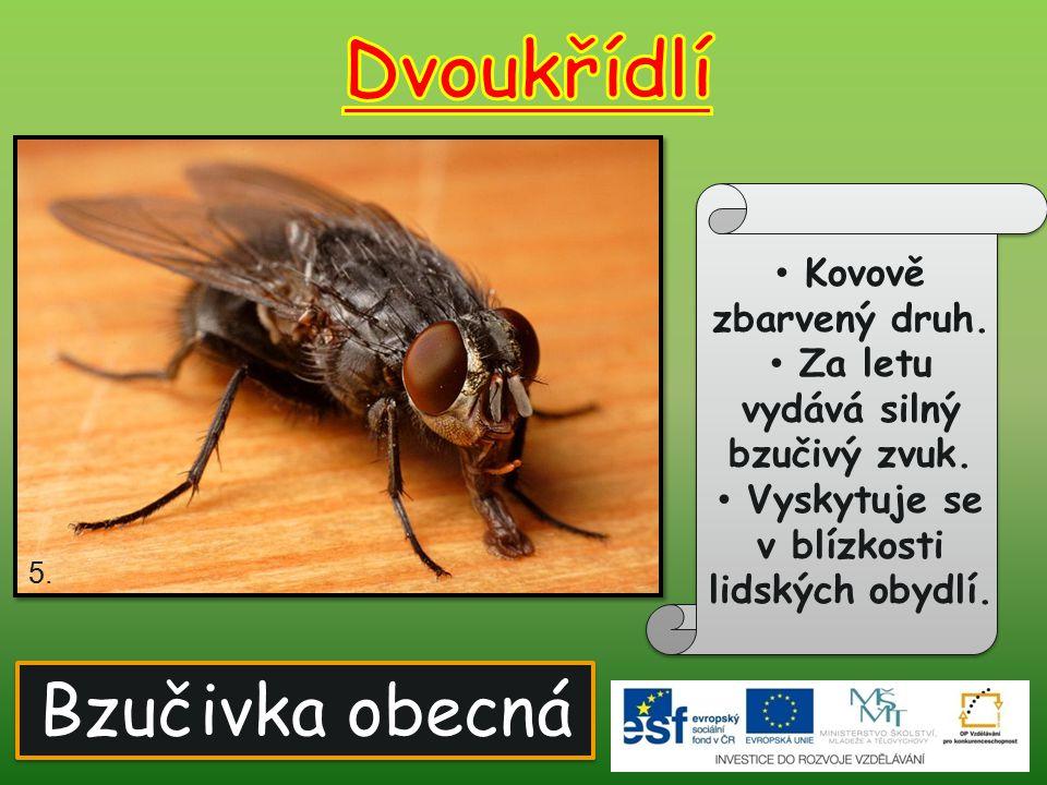 Dvoukřídlí Bzučivka obecná Kovově zbarvený druh.