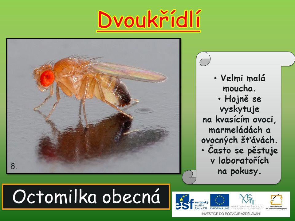 Dvoukřídlí Octomilka obecná Velmi malá moucha. Hojně se vyskytuje
