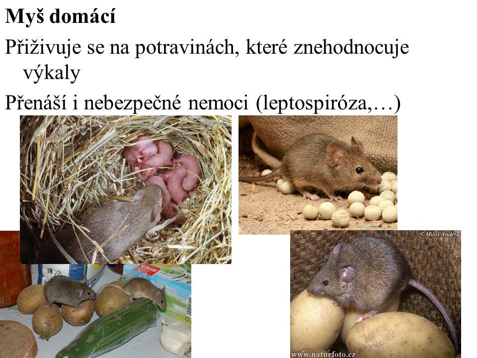 Myš domácí Přiživuje se na potravinách, které znehodnocuje výkaly.