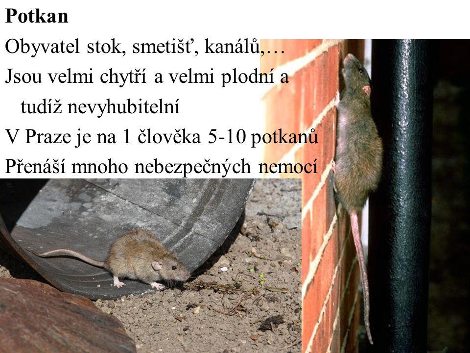 Potkan Obyvatel stok, smetišť, kanálů,… Jsou velmi chytří a velmi plodní a. tudíž nevyhubitelní. V Praze je na 1 člověka 5-10 potkanů.