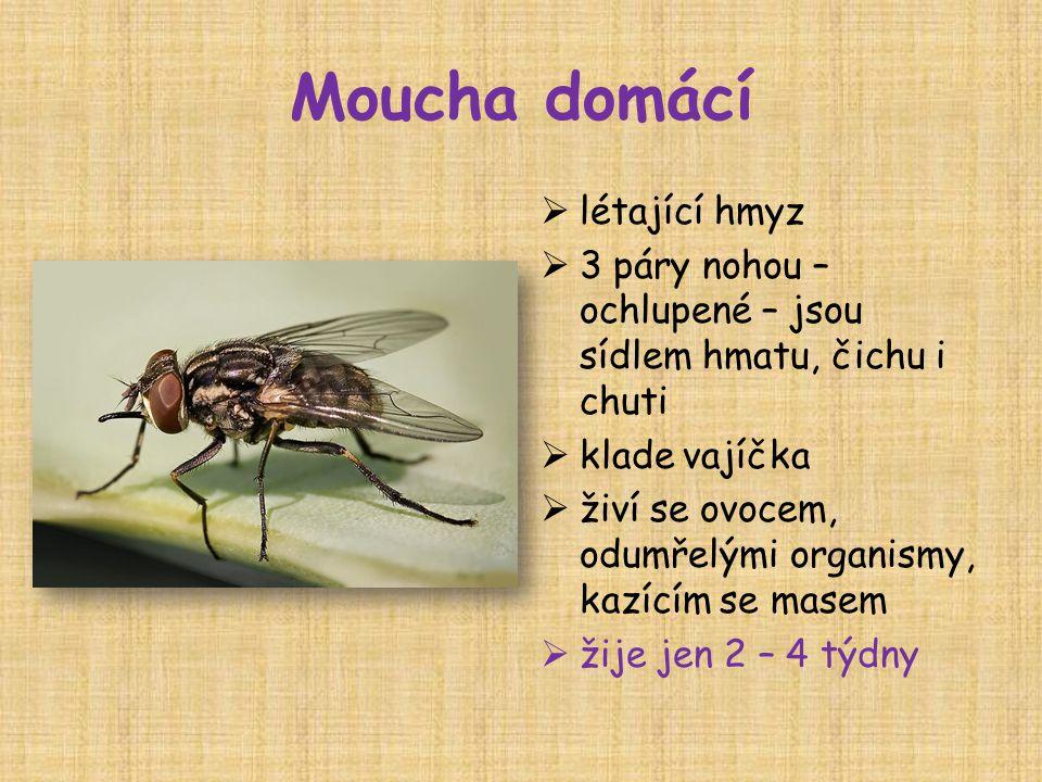 Moucha domácí létající hmyz