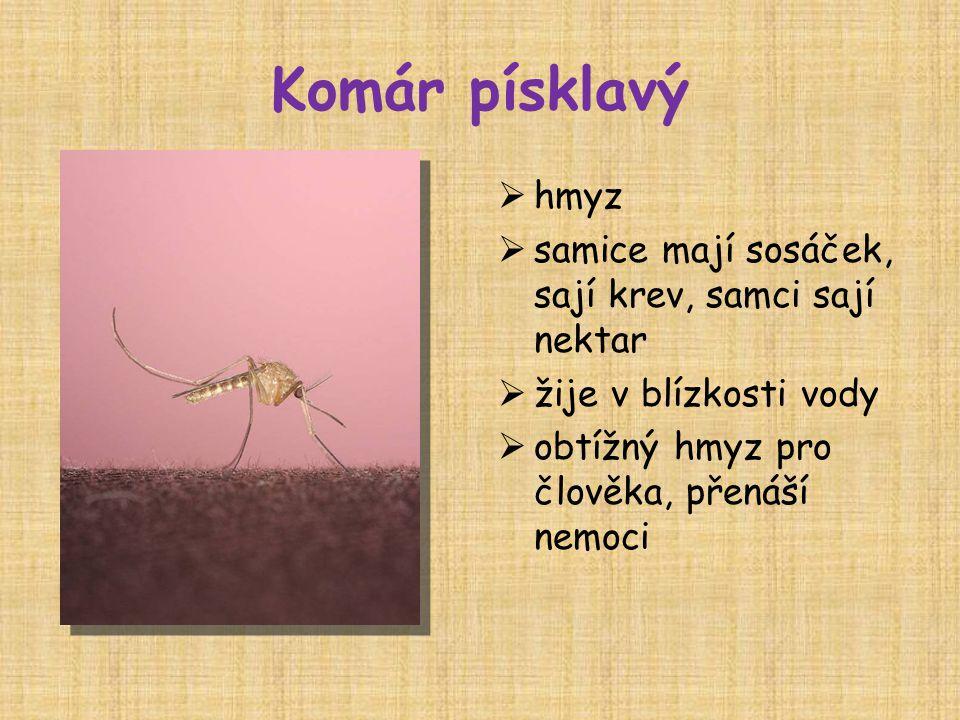 Komár písklavý hmyz samice mají sosáček, sají krev, samci sají nektar