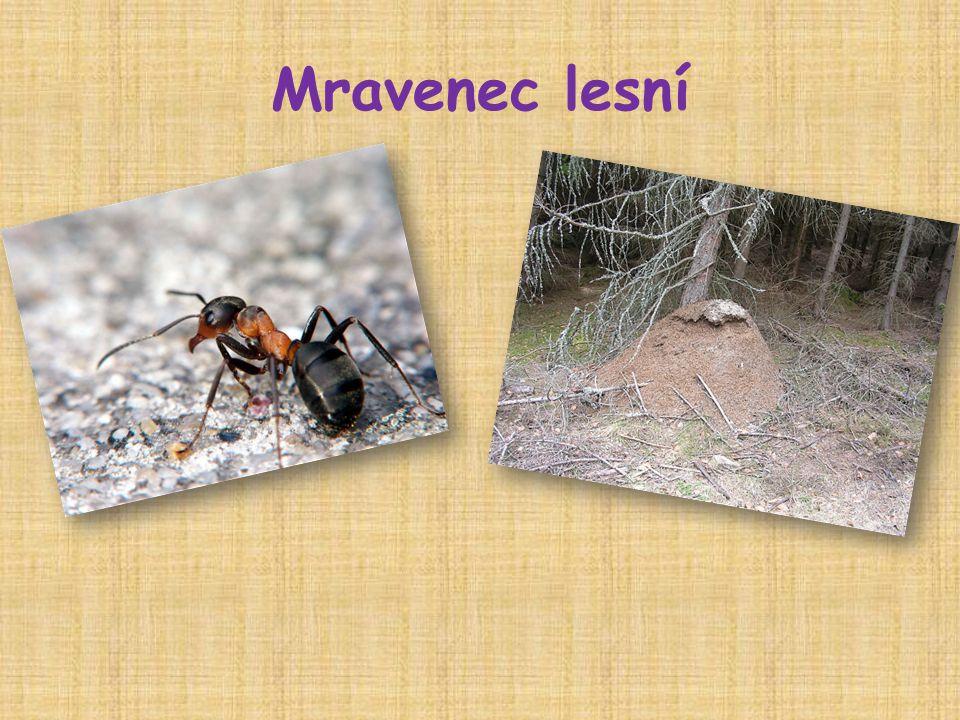 Mravenec lesní