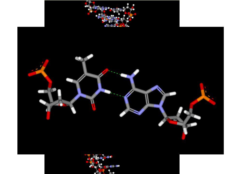 Jak jsme si již řekli, vlastní řetězec tvoří fosfosacharidová kostra a báze směřují dovnitř šroubovice.