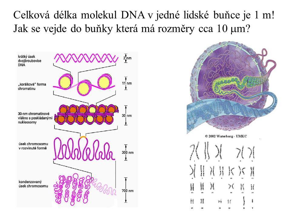 Celková délka molekul DNA v jedné lidské buňce je 1 m!