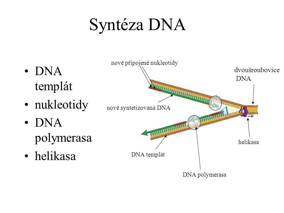 Syntéza DNA DNA templát nukleotidy DNA polymerasa helikasa