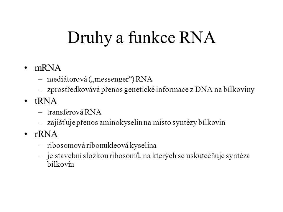 """Druhy a funkce RNA mRNA tRNA rRNA mediátorová (""""messenger ) RNA"""