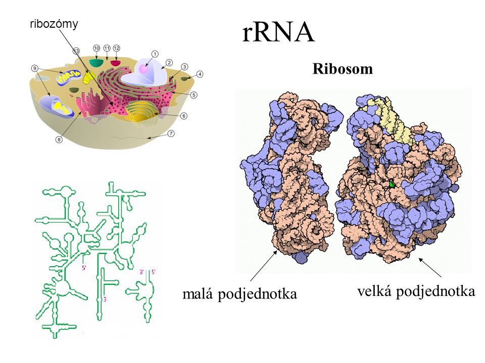 rRNA Ribosom velká podjednotka malá podjednotka ribozómy rRNA