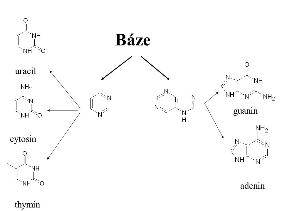 Báze uracil guanin cytosin adenin thymin Báze