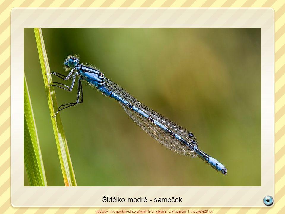 Šidélko modré - sameček