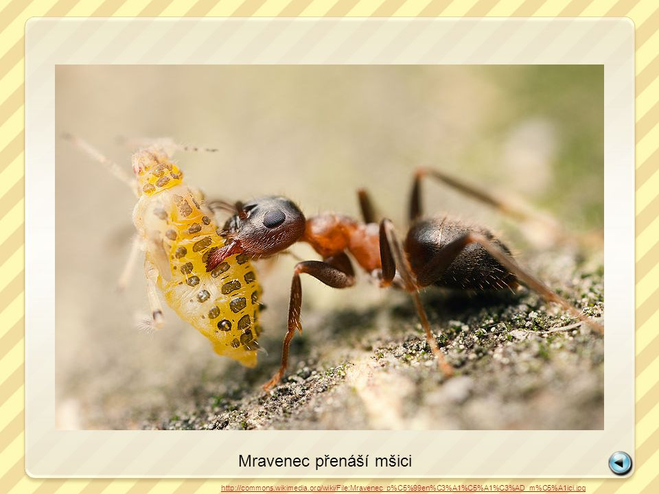 Mravenec přenáší mšici