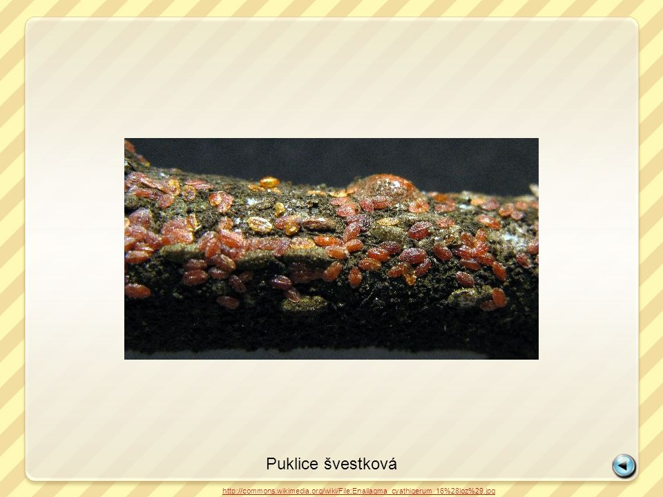 Puklice švestková http://commons.wikimedia.org/wiki/File:Enallagma_cyathigerum_16%28loz%29.jpg