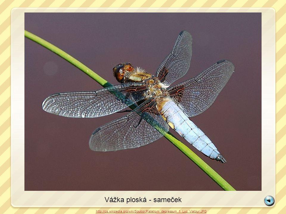 Vážka ploská - sameček http://cs.wikipedia.org/wiki/Soubor:Platetrum_depressum_1_Luc_Viatour.JPG