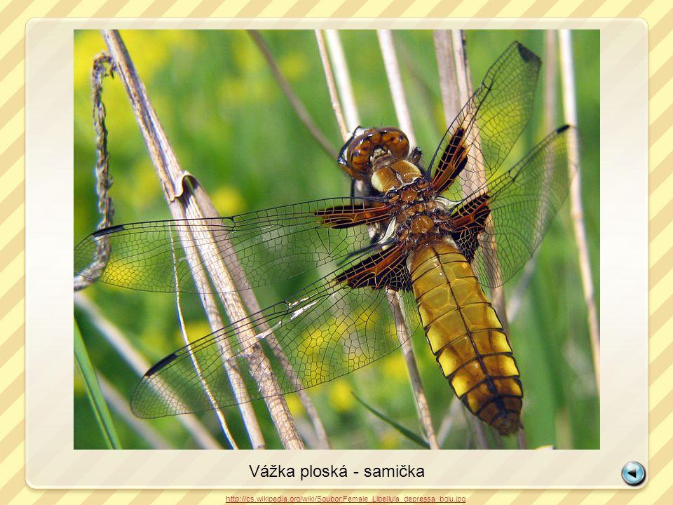 Vážka ploská - samička http://cs.wikipedia.org/wiki/Soubor:Female_Libellula_depressa_bgiu.jpg