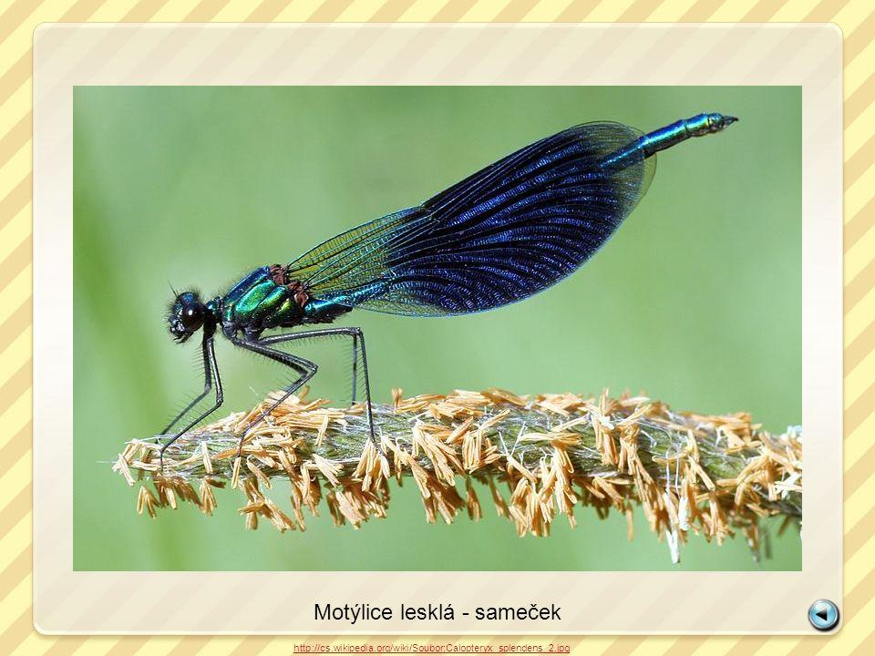 Motýlice lesklá - sameček