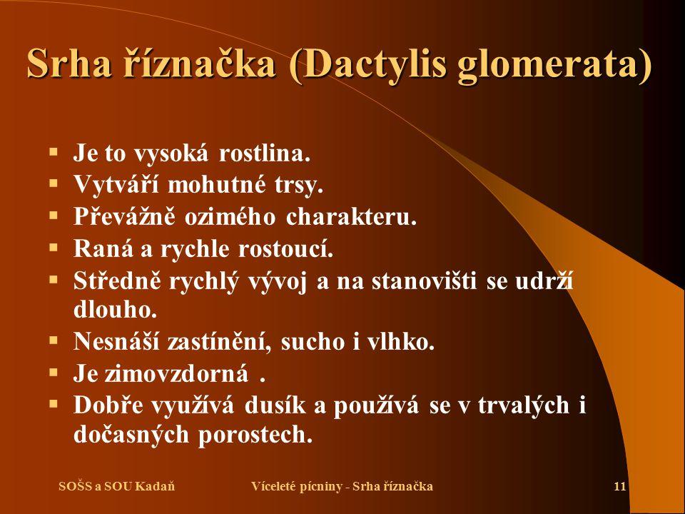 Srha říznačka (Dactylis glomerata)