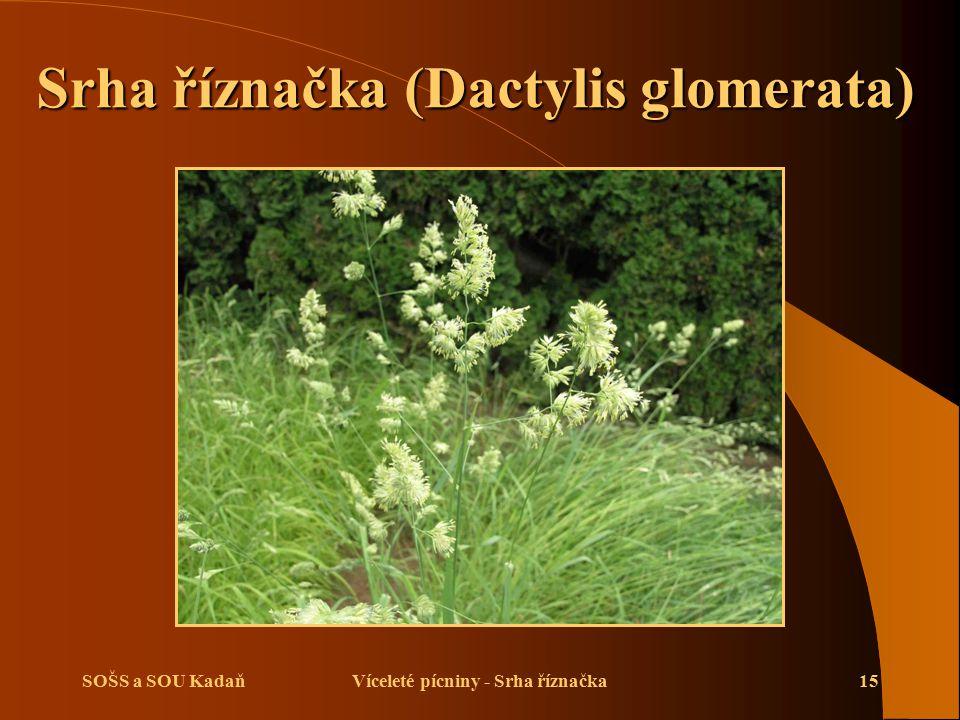 Srha říznačka (Dactylis glomerata) Víceleté pícniny - Srha říznačka