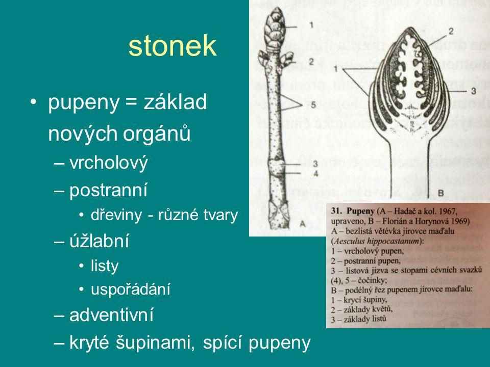 stonek pupeny = základ nových orgánů vrcholový postranní úžlabní