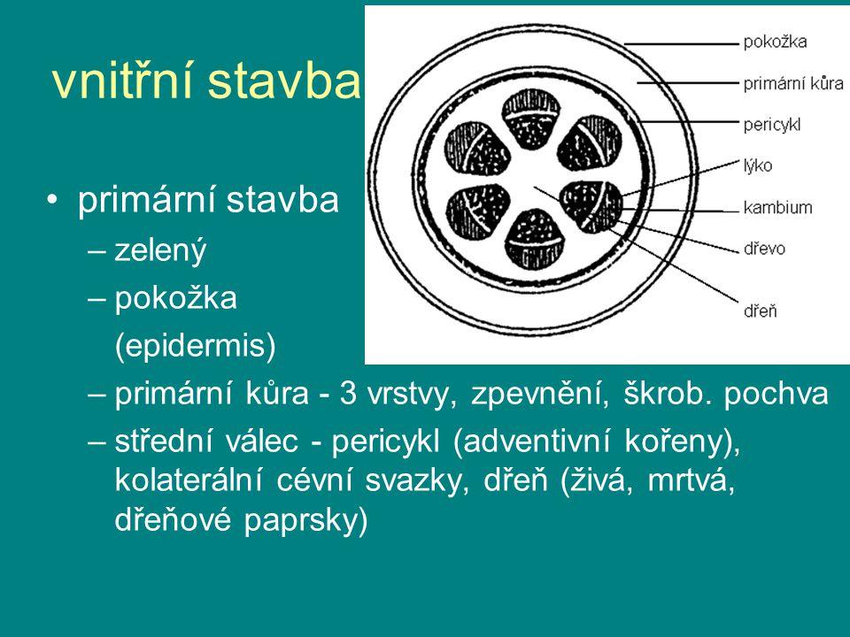 vnitřní stavba primární stavba zelený pokožka (epidermis)