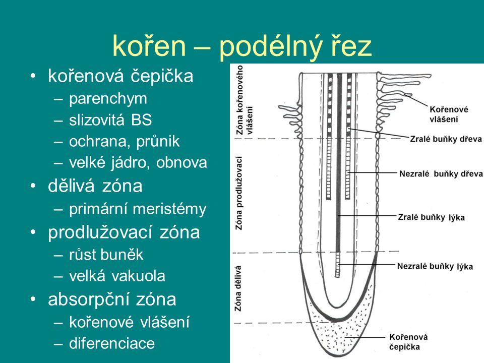 kořen – podélný řez kořenová čepička dělivá zóna prodlužovací zóna