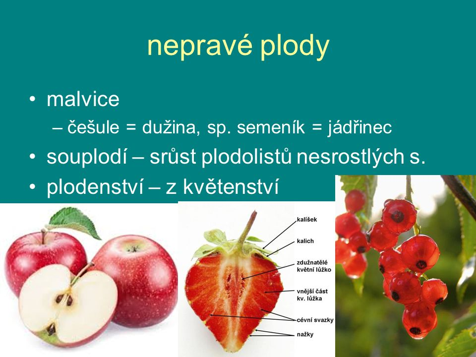 nepravé plody malvice souplodí – srůst plodolistů nesrostlých s.