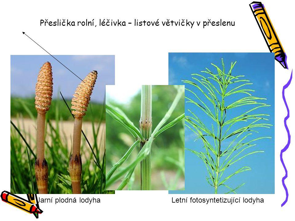 Přeslička rolní, léčivka – listové větvičky v přeslenu
