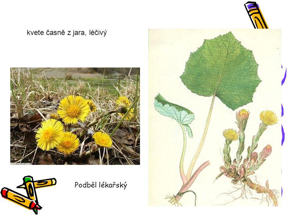 kvete časně z jara, léčivý