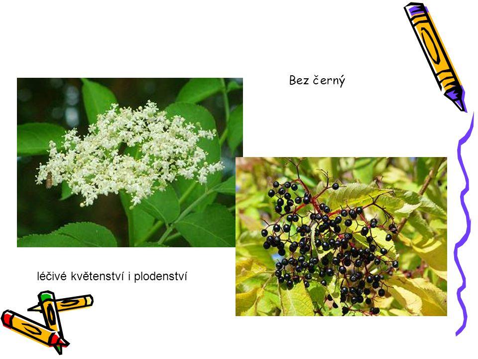 Bez černý léčivé květenství i plodenství