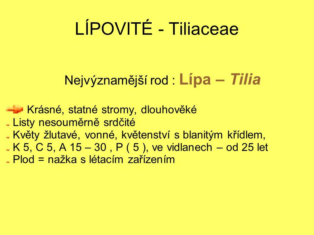 Nejvýznamější rod : Lípa – Tilia