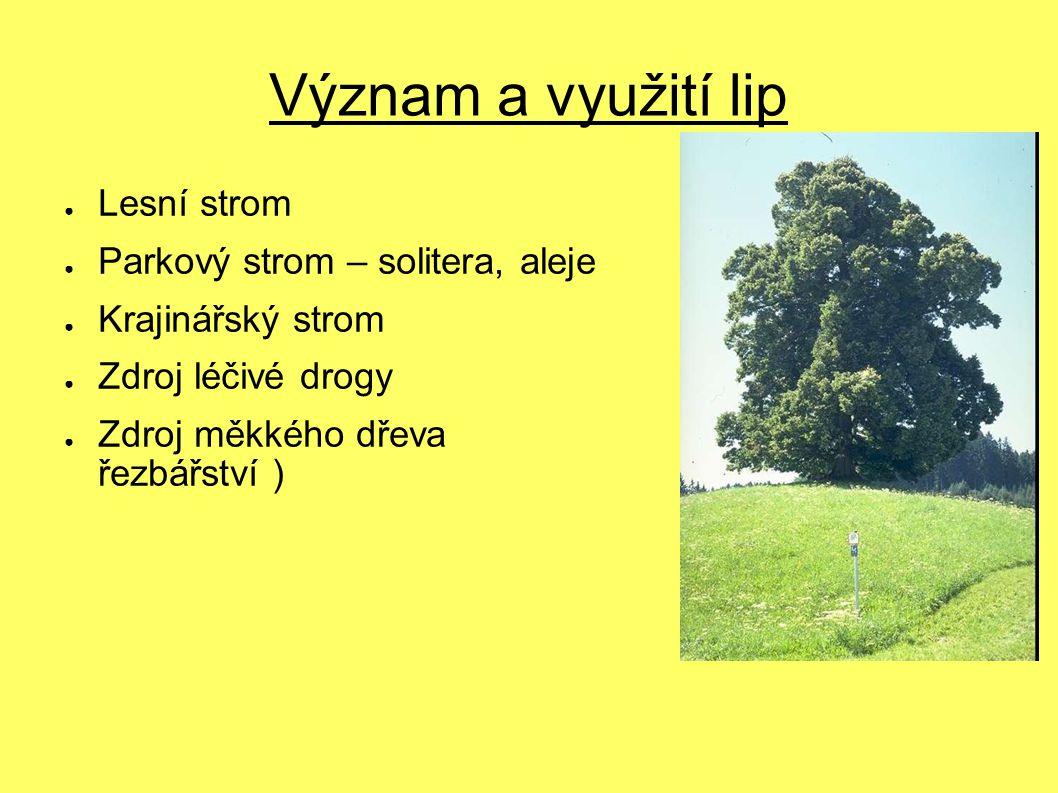 Význam a využití lip Lesní strom Parkový strom – solitera, aleje