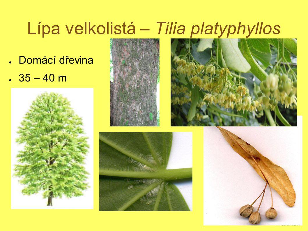 Lípa velkolistá – Tilia platyphyllos