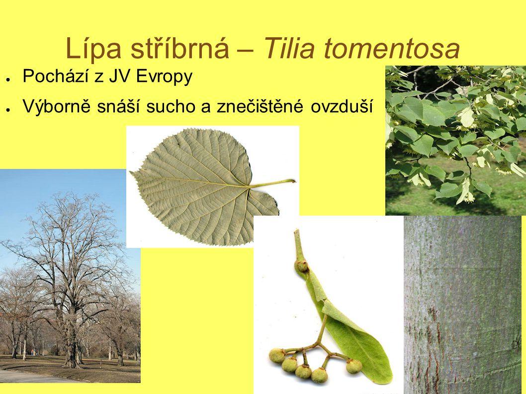 Lípa stříbrná – Tilia tomentosa