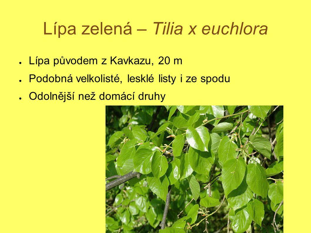 Lípa zelená – Tilia x euchlora