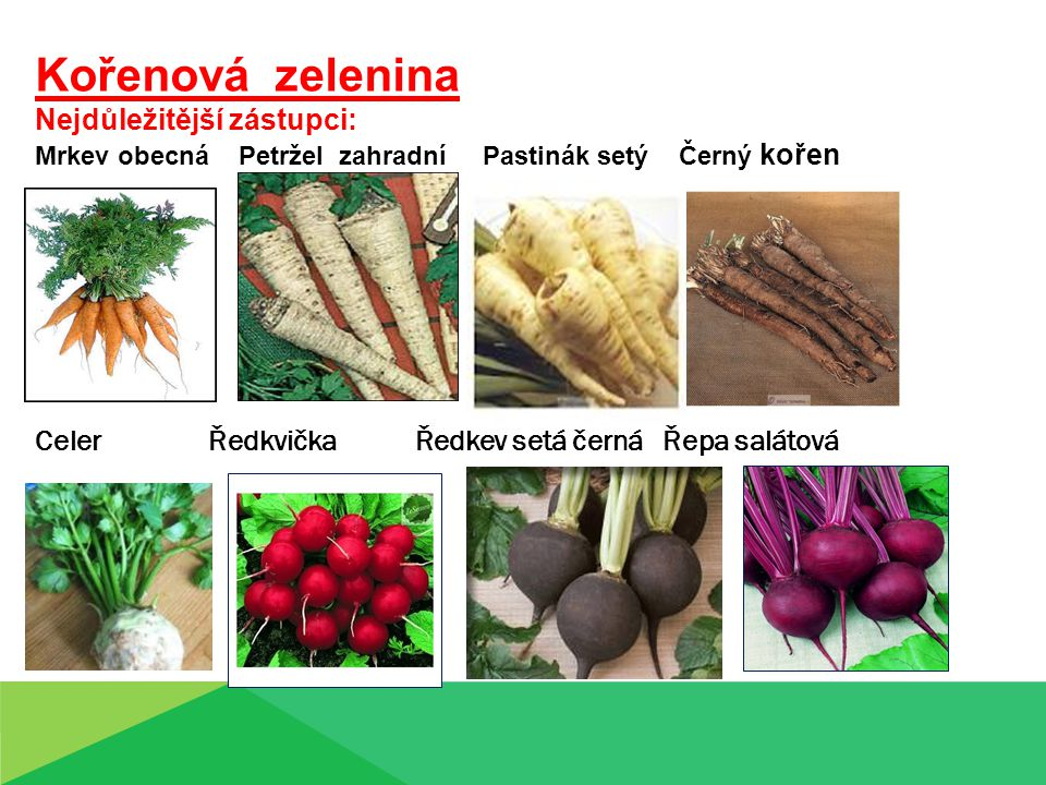 Kořenová zelenina Nejdůležitější zástupci: