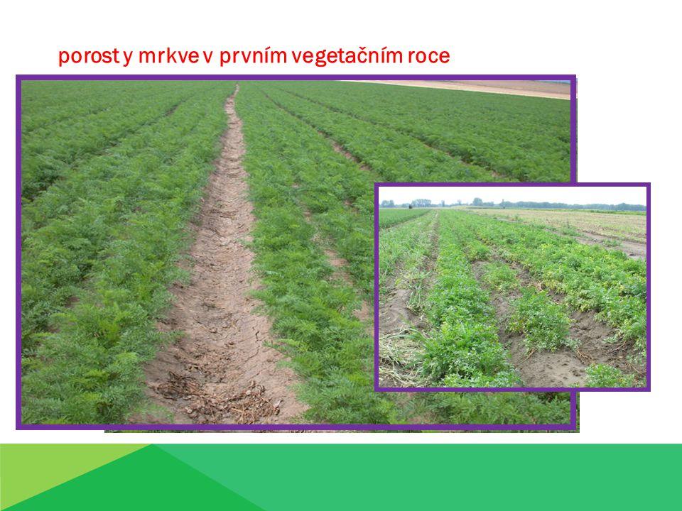 porost y mrkve v prvním vegetačním roce