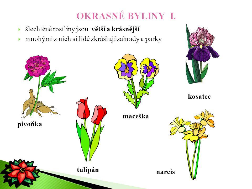 OKRASNÉ BYLINY I. šlechtěné rostliny jsou větší a krásnější