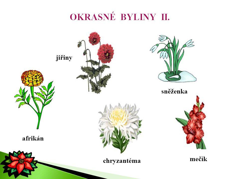 OKRASNÉ BYLINY II. jiřiny sněženka afrikán mečík chryzantéma