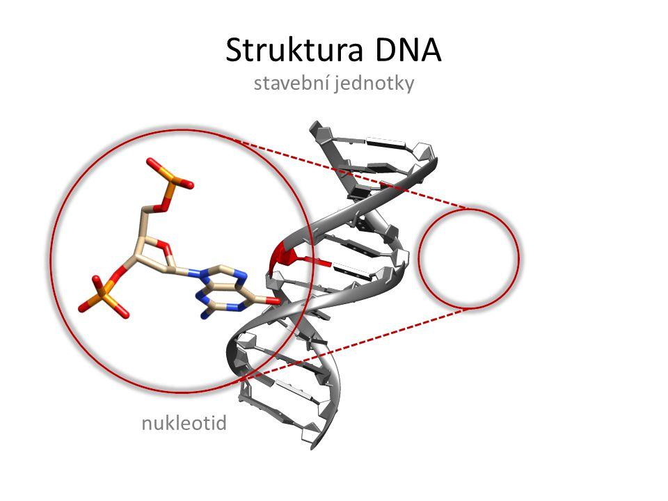 Struktura DNA stavební jednotky nukleotid