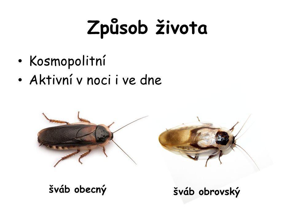 Způsob života Kosmopolitní Aktivní v noci i ve dne šváb obecný