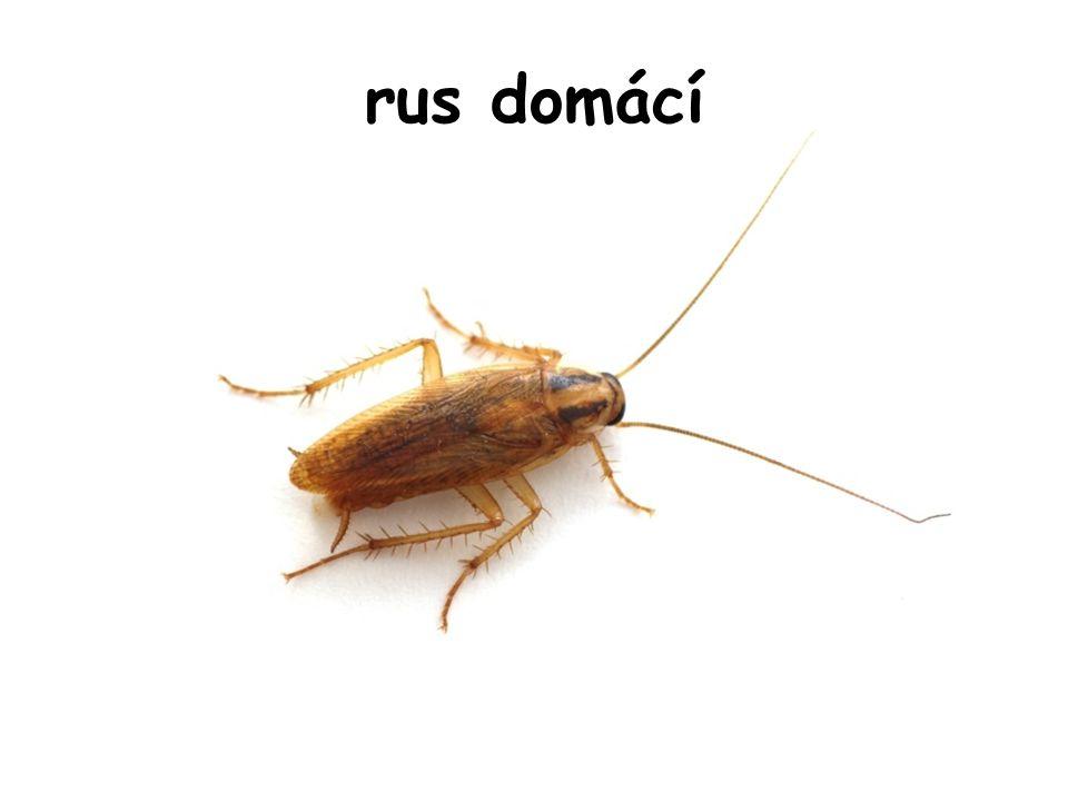 rus domácí