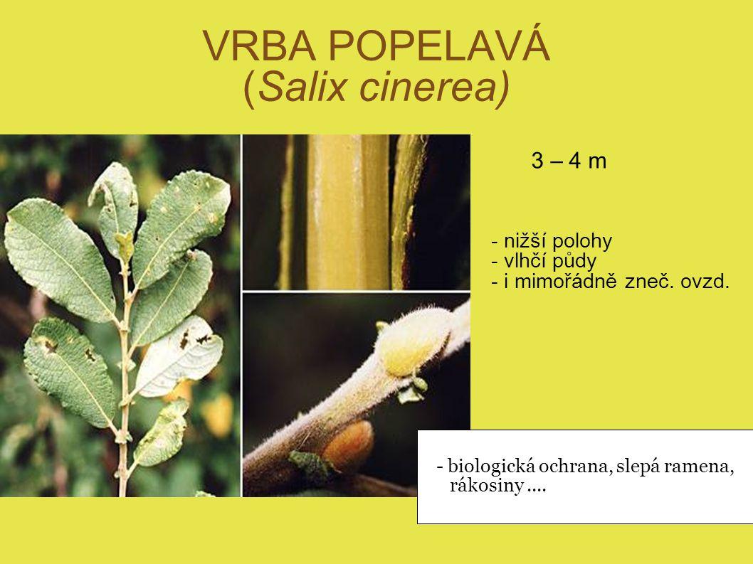 VRBA POPELAVÁ (Salix cinerea)