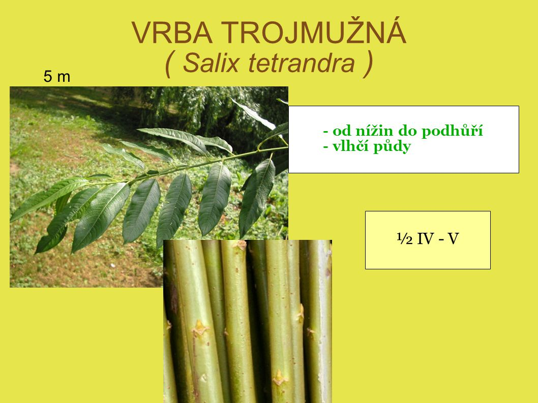 VRBA TROJMUŽNÁ ( Salix tetrandra )