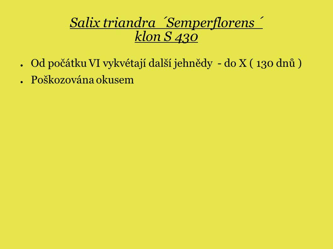 Salix triandra ´Semperflorens´ klon S 430