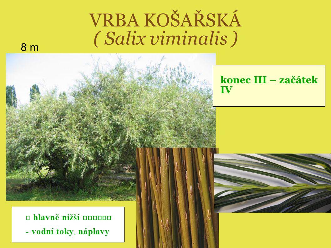 VRBA KOŠAŘSKÁ ( Salix viminalis )