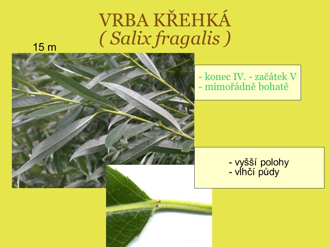 VRBA KŘEHKÁ ( Salix fragalis )