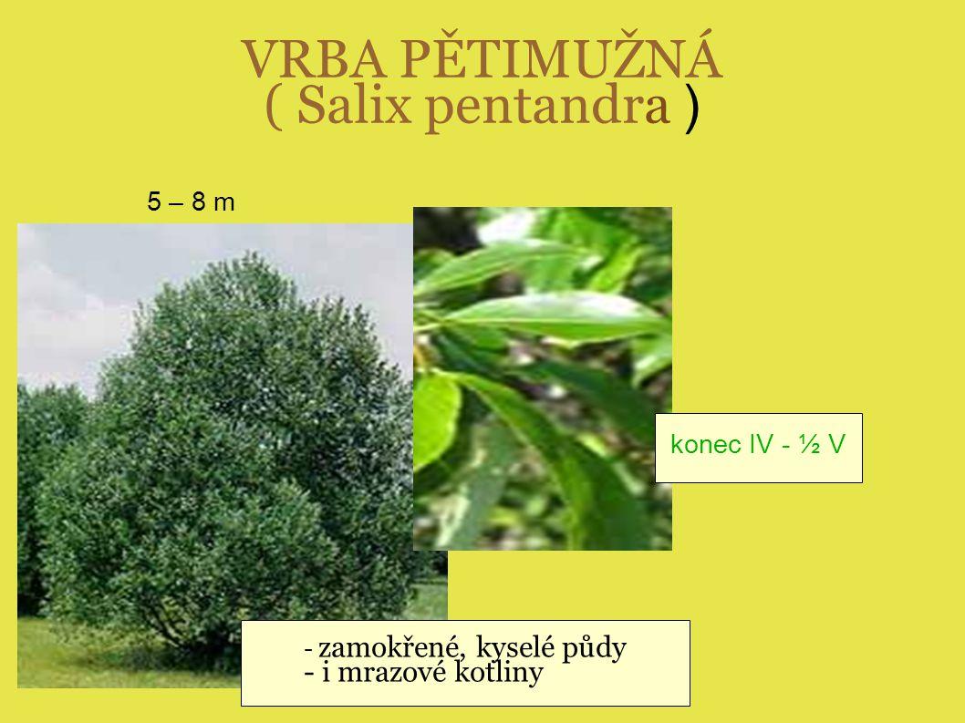 VRBA PĚTIMUŽNÁ ( Salix pentandra )