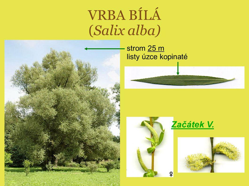 VRBA BÍLÁ (Salix alba) strom 25 m listy úzce kopinaté Začátek V.