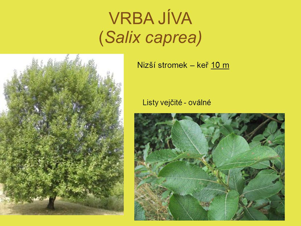 VRBA JÍVA (Salix caprea)